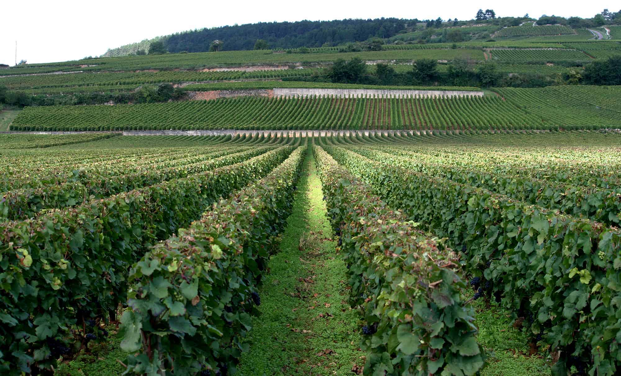 Vineyard in Côte de Beaune